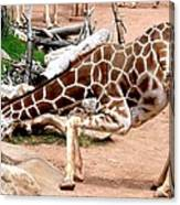 Kneeling Giraffe Canvas Print