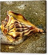 Knobbed Whelk 9 Botany Bay Canvas Print