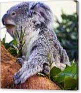 Koala Eating In A Tree Canvas Print
