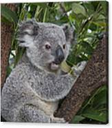 Koala Joey Australia Canvas Print