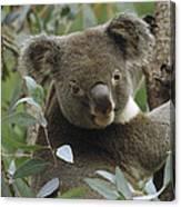 Koala Male In Eucalyptus Australia Canvas Print