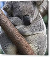 Koala Male Sleeping Australia Canvas Print