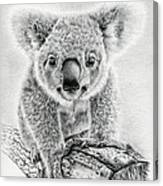Koala Oxley Twinkles Canvas Print
