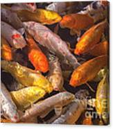Koi Fish Nishikigoi  Canvas Print