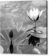 Koi Pond With Lily Pad Flower And Bud Black And White Canvas Print