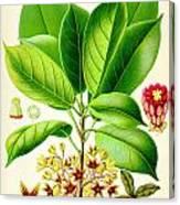 Kola Nut Canvas Print