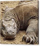 Komodo Dragon Male Basking Komodo Island Canvas Print