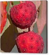 Kousa Dogwood Fruit Canvas Print
