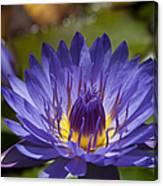 La Fleur De Lotus Star Of Zanzibar Tropical Water Lily Metal Print