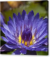 La Fleur De Lotus - Star Of Zanzibar Tropical Water Lily Canvas Print