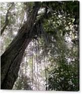 La Tigra Rainforest Canopy Canvas Print