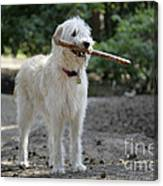 Labradoodle Holding Stick Canvas Print