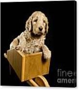 Labradoodle Puppy In A Wheelbarrow Canvas Print