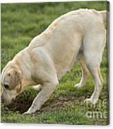 Labrador Checking Hole Canvas Print