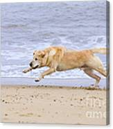 Labrador Dog Chasing Ball On Beach Canvas Print