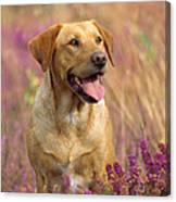 Labrador Dog Canvas Print