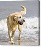 Labrador Dog Playing On Beach Canvas Print
