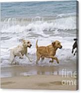 Labrador Dogs Running Canvas Print