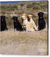Labrador Dogs Waiting For Orders Canvas Print