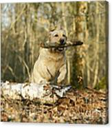 Labrador Jumping With Stick Canvas Print