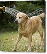 Labrador Playing In Water Canvas Print
