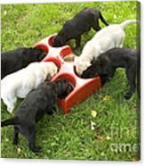 Labrador Puppies Eating Canvas Print