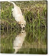Labrador Puppy Drinking Canvas Print