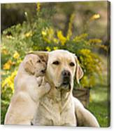 Labrador Puppy Playing With Parent Canvas Print