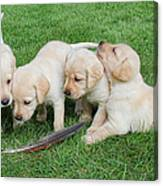 Labrador Retriever Puppies And Feather Canvas Print