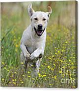 Labrador Running Canvas Print