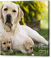 Labrador With Two Puppies Canvas Print