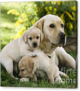 Labrador With Young Puppies Canvas Print