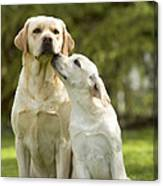 Labradors, Adult And Young Canvas Print
