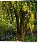 Laburnum Tree In Bloom Canvas Print