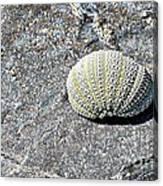 Lacy Shell On A Beachrock Canvas Print