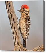 Ladder-backed Woodpecker Canvas Print