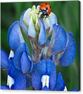 Lady Bug And Bluebonnet Canvas Print