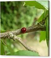 Lady Bug Branch Canvas Print