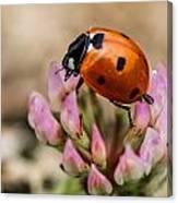 Lady Bug On Clover Canvas Print