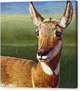 Lady Pronghorn Canvas Print
