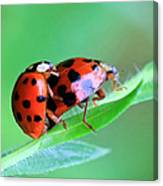 Ladybug And Gentlemanbug Canvas Print