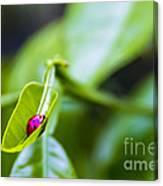 Ladybug Cup Canvas Print