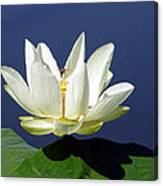 Lagoon Lily And Bee Canvas Print