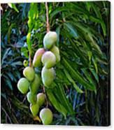 Lahaina Mango 1 Canvas Print