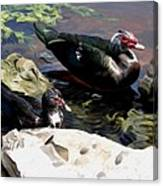Lake Toho Ducks Canvas Print