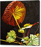 Lake Washington Lily Pad 18 Canvas Print