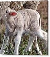 Lamb Babe Canvas Print