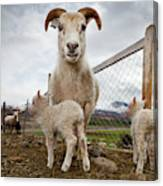 Lamb On A Farm, Iceland Canvas Print