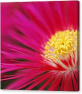 Lampranthus Abstract Canvas Print
