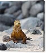 Land Iguana On The Beach Canvas Print